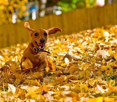 fall-dog
